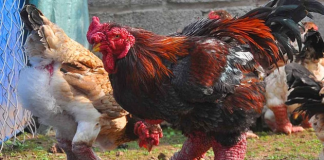 ejderha tavuğu, tavuk cinsleri
