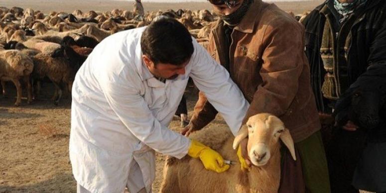 koyun aşılama işlemi
