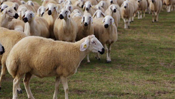 koyun türleri neler