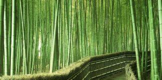 bambu ağacı nasıl yetiştirilir